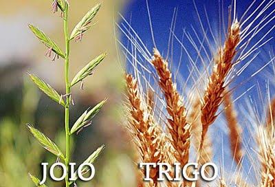 O trigo e o joio.