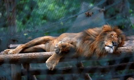 O zoo Caricuao, em Caracas reduz a ração de carne aos leões, introduzindo na dieta dos carnívoros manga e abóbora. A imagem é de CARLOS JASSO / REUTERS
